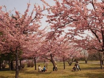 淡路島国営明石海峡公園 桜まつり01.jpg
