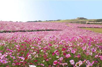 花さじきコスモス.jpg
